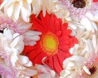 Czerwona gerber stokrotka między biel Zdjęcia Royalty Free