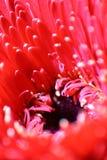 Czerwona Gerbera stokrotka Makro- Zdjęcia Stock