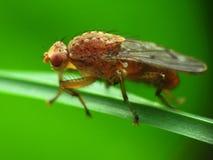 Czerwona gnojowa komarnica zdjęcia stock