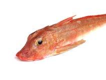 Czerwona Gurnard ryba Obraz Stock