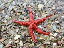 czerwona gwiazda morska Fotografia Royalty Free