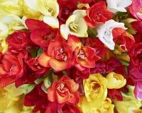 Czerwona i żółta frezja kwitnie, naturalny tło Fotografia Stock