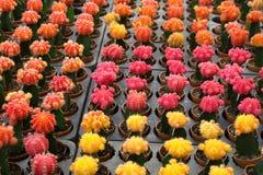 Czerwona i żółta kaktusowa pustynna roślina Fotografia Stock