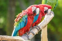 Czerwona i Błękitny ara Obraz Royalty Free