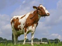 Czerwona i biała krowa z kantarem pomarańczowa arkana wokoło jej snoot, stoi w łące zdjęcie stock