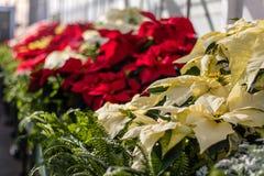 Czerwona i biała poinsecja kwitnie w szklarnianym położeniu dla Bożenarodzeniowego wakacje obraz stock