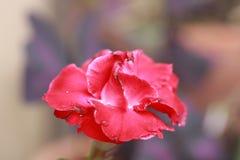 Czerwona impala leluja ja jest genus kwiatonośne rośliny w Apocynum rodzinie zdjęcia royalty free