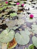 Czerwona indyjska wodna leluja zdjęcia royalty free