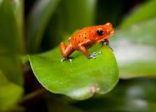 Czerwona jad strzałki żaba Obrazy Stock