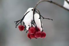 Czerwona jagoda obrazy royalty free