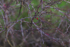 Czerwona jagoda w cierniach Fotografia Royalty Free