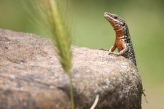 Czerwona jaszczurka clinbing kamień Obraz Royalty Free