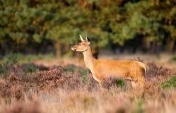 Czerwona jelenia kobieta Fotografia Royalty Free