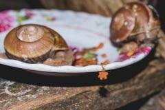 Czerwona Kambodżańska mrówka kraść od pucharu psiego jedzenia Obraz Stock