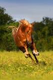 Czerwona końska zabawa Fotografia Royalty Free