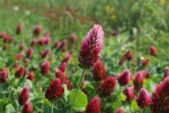 Czerwona koniczyna i łąka zdjęcie stock