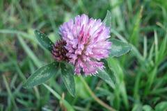Czerwona koniczyna (Trifolium Pratense) Zdjęcia Stock