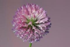 Czerwona koniczyna, Trifolium pratense Obraz Royalty Free