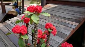 Czerwona korona ciernia kwiat przy Spławowym rynkiem Zdjęcie Royalty Free