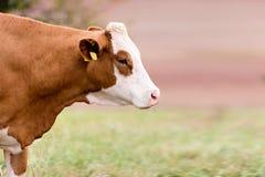 Czerwona krowa Obrazy Royalty Free