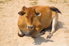 Czerwona krowa Phu Quoc, Wietnam Zdjęcie Royalty Free