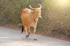 Czerwona krowa w India z dzwonem, iść na drodze piękna krowa Obrazy Stock