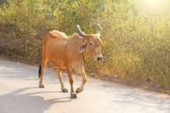 Czerwona krowa w India z dzwonem, iść na drodze piękna krowa Fotografia Stock