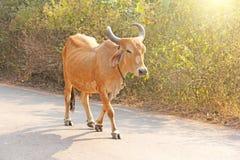 Czerwona krowa w India z dzwonem, iść na drodze piękna krowa Obraz Royalty Free