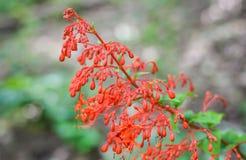 Czerwona kwiat roślina Zdjęcie Stock