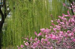 Czerwona kwiatonośna brzoskwinia i zieleni wierzba zdjęcia royalty free