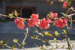 Czerwona kwiatonośna Japońska pigwa Fotografia Royalty Free