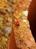 Czerwona lelui ściga, Szkarłatna lelui ściga/ Obrazy Stock