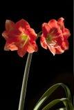 Czerwona leluja Obrazy Royalty Free