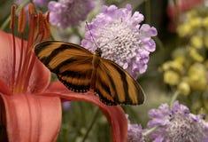 czerwona leluja i motyl Zdjęcia Royalty Free