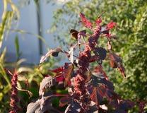 Czerwona liść gmatwanina Fotografia Royalty Free
