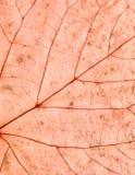 Czerwona liść tekstura Obrazy Stock