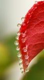 Czerwona liścia i wody kropla Zdjęcie Stock