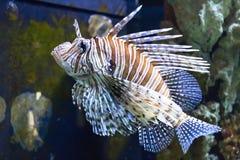 Czerwona lionfish pterrois volitans niebezpieczeństwa ryba w akwarium zdjęcie royalty free
