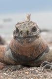 Czerwona męska żołnierza piechoty morskiej Galapagos iguana Obraz Stock