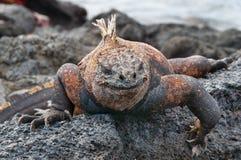 Czerwona męska żołnierza piechoty morskiej Galapagos iguana Zdjęcia Royalty Free