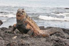 Czerwona męska żołnierza piechoty morskiej Galapagos iguana Fotografia Royalty Free