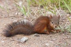 czerwona mała wiewiórka Zdjęcia Royalty Free