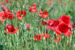 Czerwona maczków kwiatów zieleni pola wiosna zdjęcia royalty free