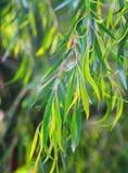Czerwona mallee roślina w wiośnie Zdjęcia Stock