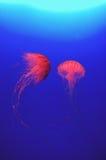 czerwona meduza. Zdjęcia Stock