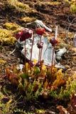 Czerwona miotacz roślina obraz royalty free