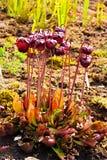 Czerwona miotacz roślina zdjęcie royalty free