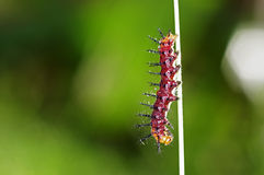 Czerwona motylia gąsienica Zdjęcia Royalty Free
