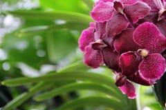 Czerwona motylia orchidea z zmrokiem - czerwień punkty Obrazy Royalty Free