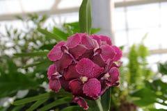 Czerwona motylia orchidea z zmrokiem - czerwień punkty Fotografia Stock